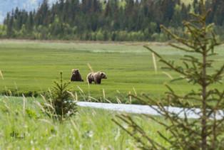 Alaska: Grizzlies im Sumpfgras