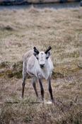Norwegen: Rudolph the rednosed...