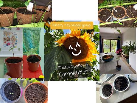 Sunflower Contest Collage .jpg