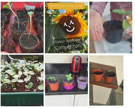 Sunflower Contest Week 1 photos.png