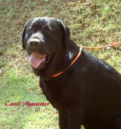Filhotes Labrador (Canil Massister)