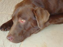 Filhote de Labrador com pedigree SP