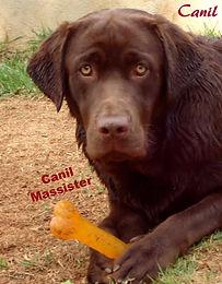 Canil de Labrador