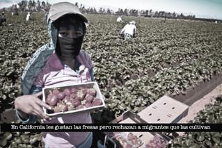 En California les gustan las fresas pero rechazan a migrantes que las cultivan