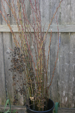 Pussy Willow and Pods