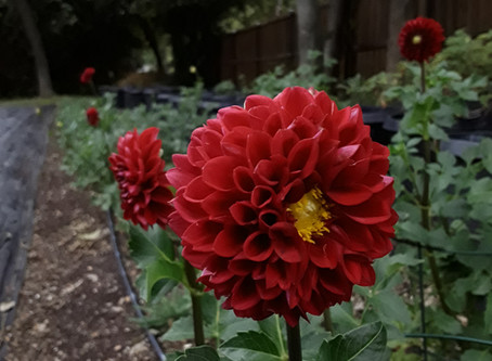 Dahlias in the South