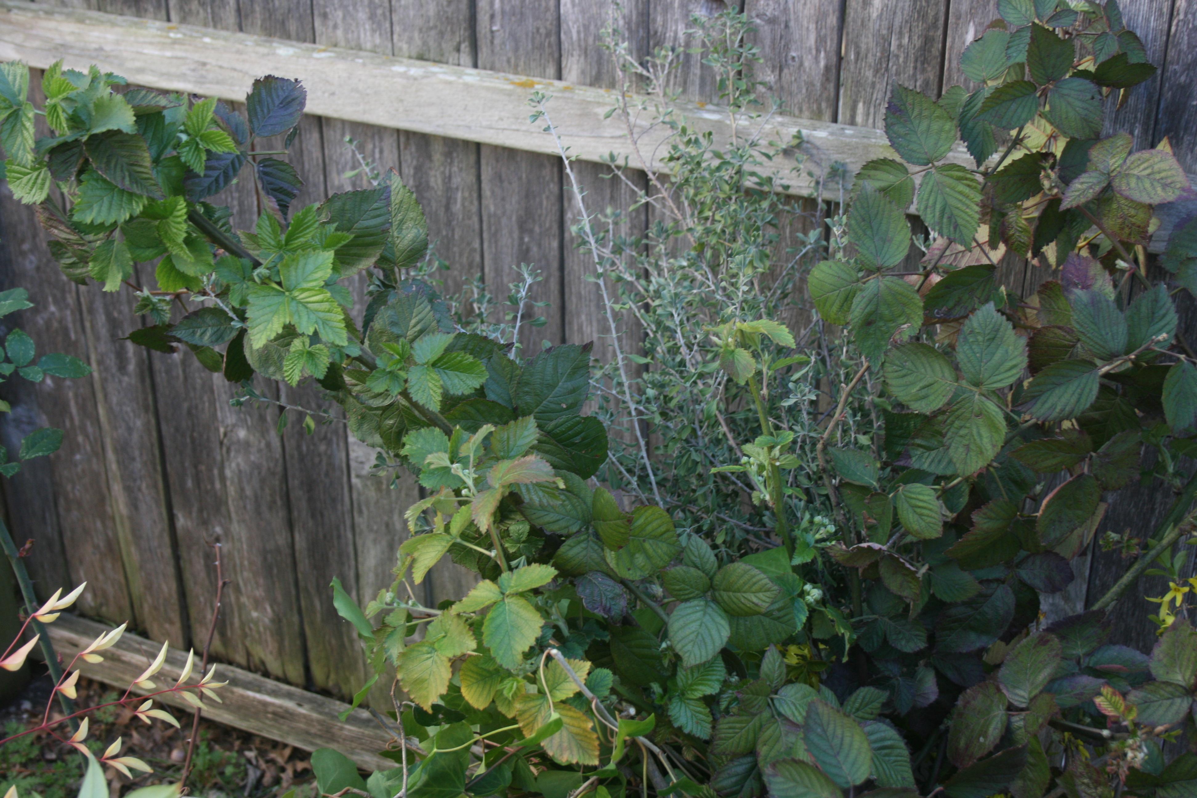 Blackberry foliage 4