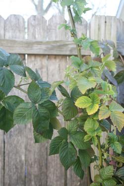Blackberry foliage 2