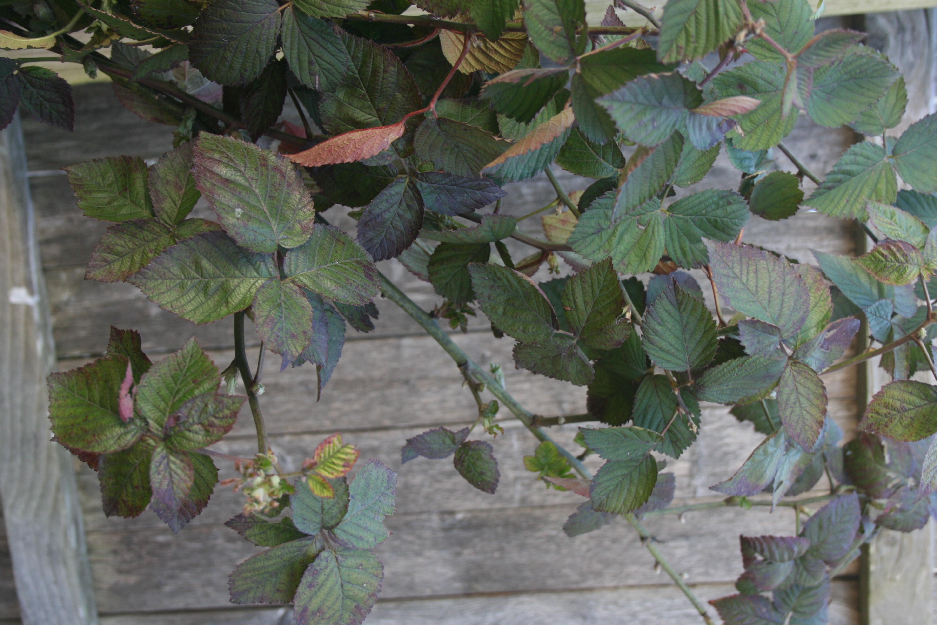 Blackberry Foliage 3