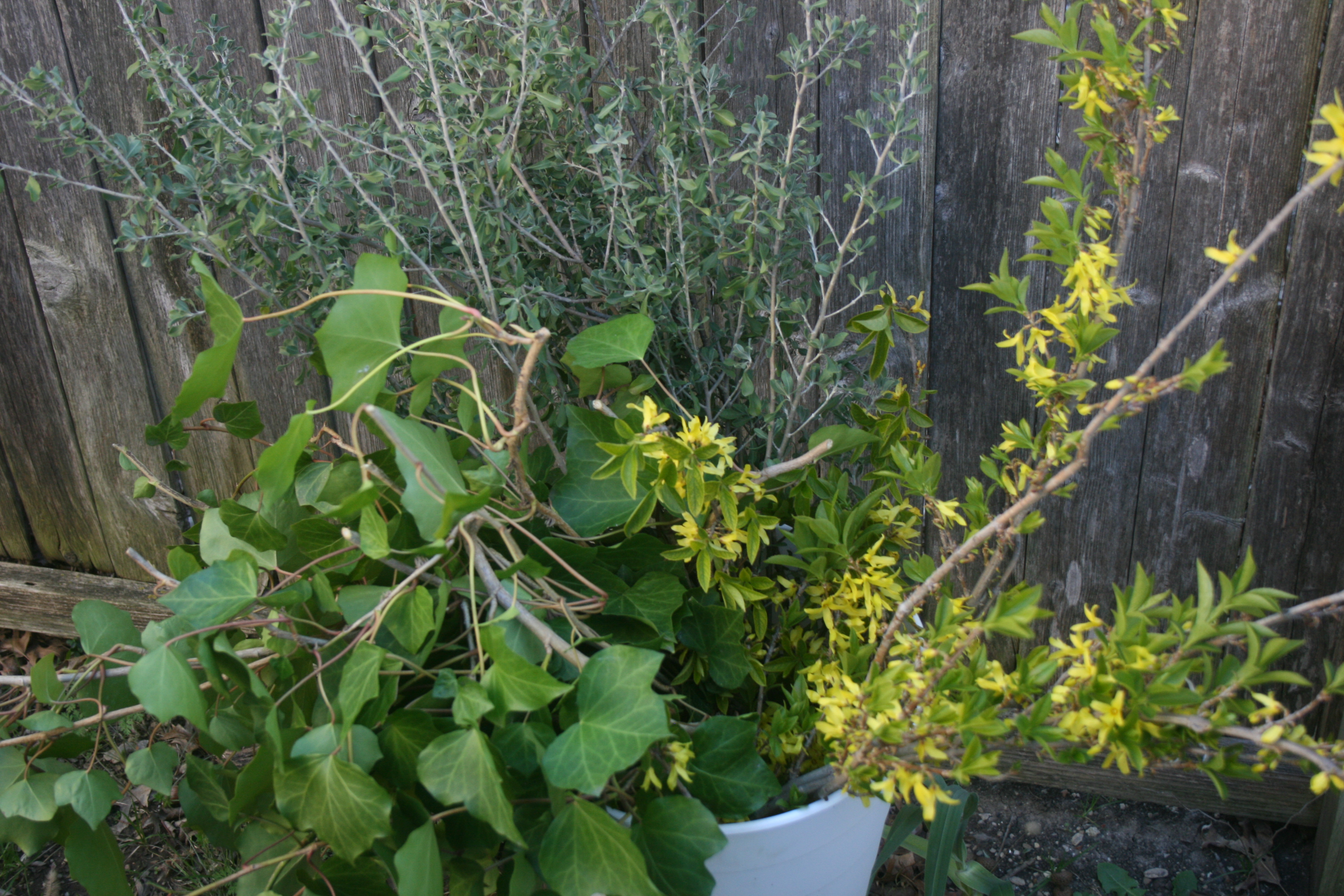 Ivy Sage Forsynthia