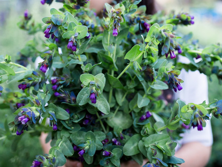 Plant Profile: Growing Cerinthe (Honeywort)