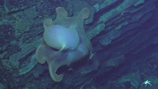 dumbo octopus.png