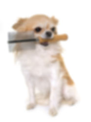 purebred chihuahua holding a comb in fro