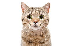Portrait of a surprised cat Scottish Str