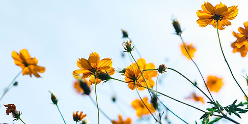 yellow-flowers-looking-up-to-a-blue-sky.