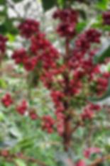 coffee tree with ripe coffee cherries