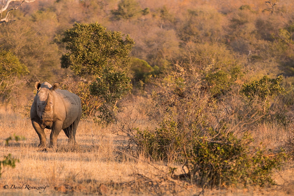 RHINOS ARE EXPECTED TO GO EXTINCT WITHIN THE NEXT 15 YEARS