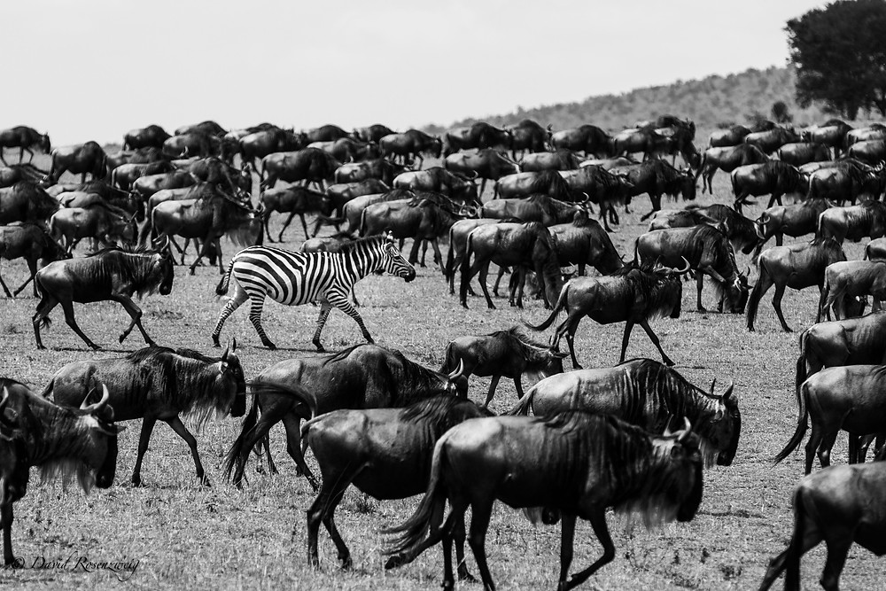 A LONE ZEBRA AMONGST THE GREAT HERDS, PHOTOGRAPHED ON MY LATEST TRIP