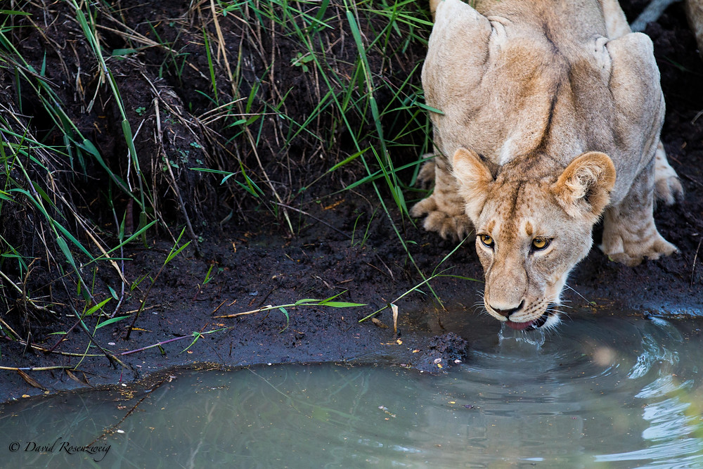 LION POPULATION HAVE DROPPED NEARLY 95% IN THE PAST 50 YEARS