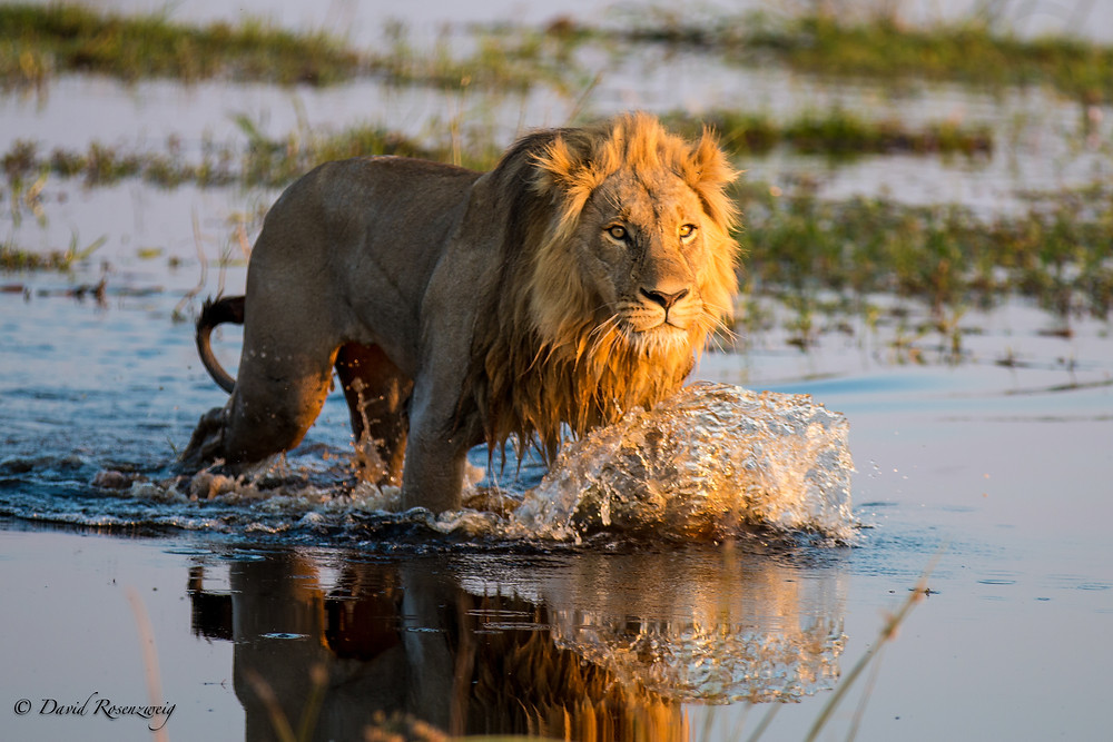 Male lions, such as the one pictured above, are shot each day by trophy hunters around the world