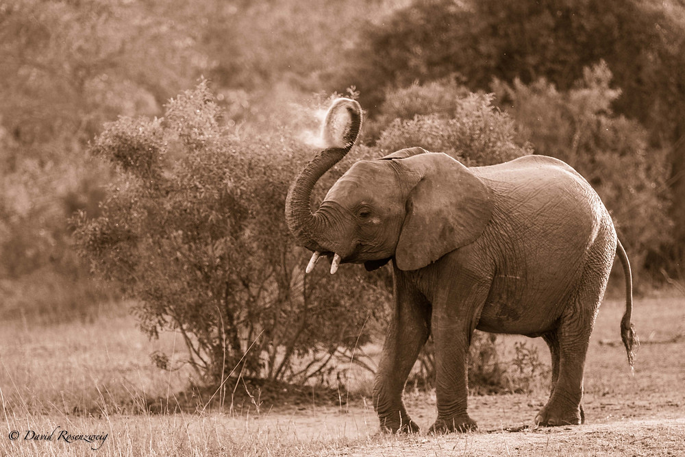Wanted for their ivory tusks, nearly 100,000 elephants were killed in the last 3 years.
