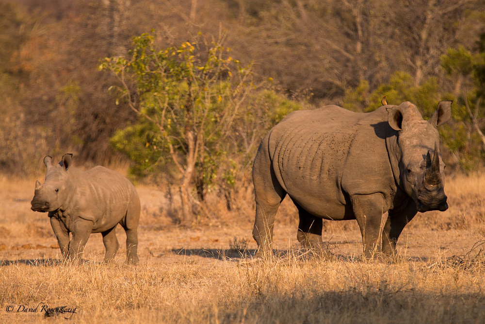 Experts say rhino may go extinct within the next 10 to15 years.
