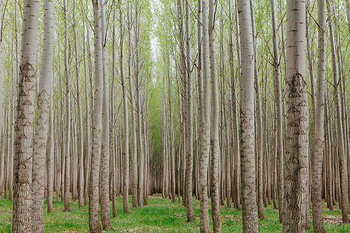 poplar-tree-plantation-tree-nursery-grow