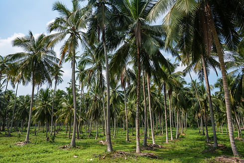 coconut-plantation-in-asia-ENXPGVQ.jpg