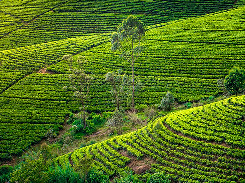 tea-plantation-LCPMWEY.jpg