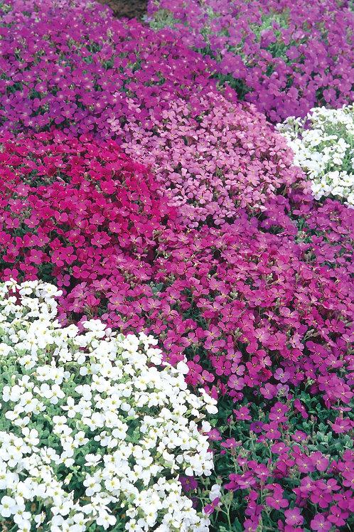 Unwins Aubrieta Spring Cascade
