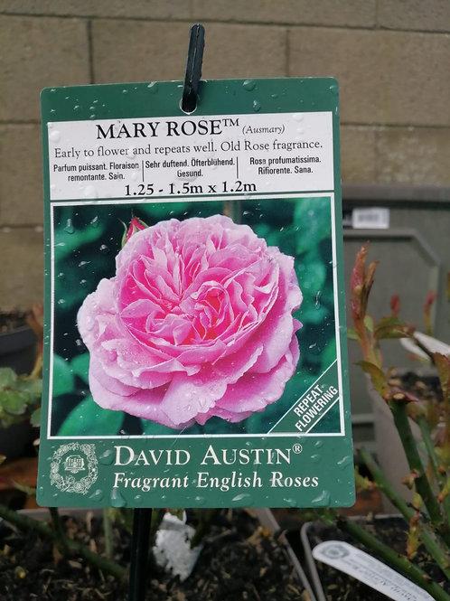 Mary Rose Rose Shrub