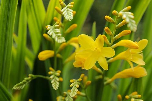 Crocosmia crocosmiiflora 'George Davison' Prepack summer Bulbs