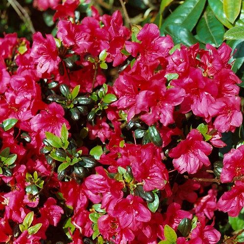 Azalea Maruschka Plant