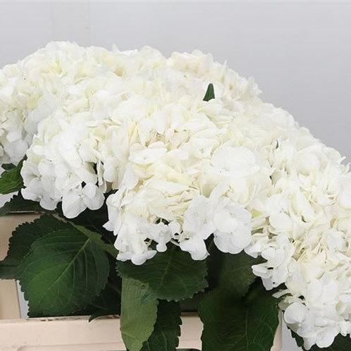 Hydrangea Bianco
