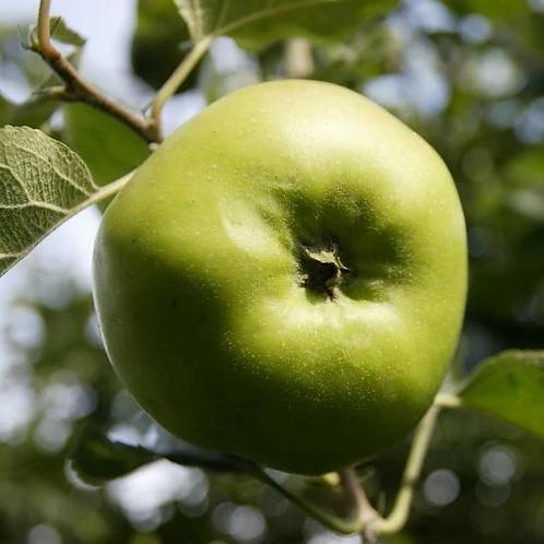 Apple Bramley Tree