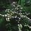 Thumbnail: Viburnum Pink Beauty