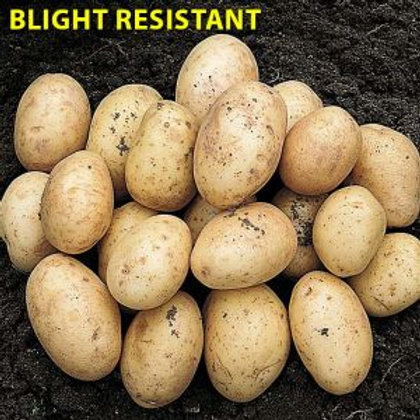 Orla First Early Seed Potato's 2kg