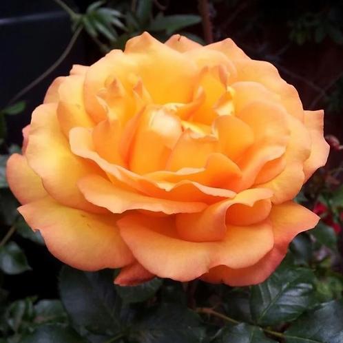 Rosa Precious Amber