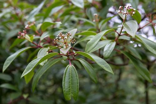 Viburnum davidii Angustifolium