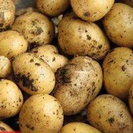 Golden Wonder Maincrop Seed Potato's 2kg