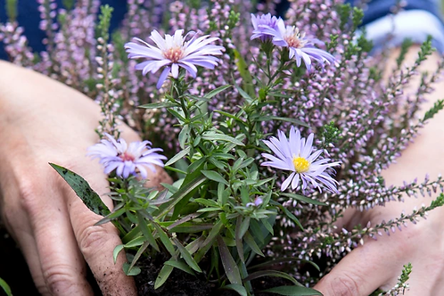 Aster mixed Plants