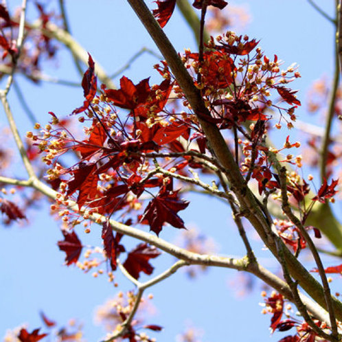 Acer Platanoides Royal Red Tree