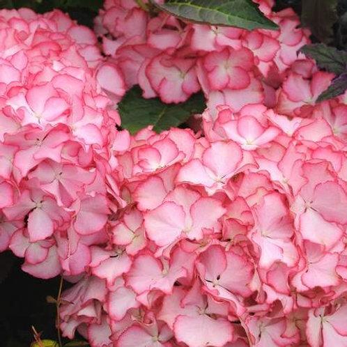 Hydrangea Adula Pink