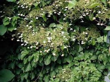 Hydrangea petiolaris Trellis