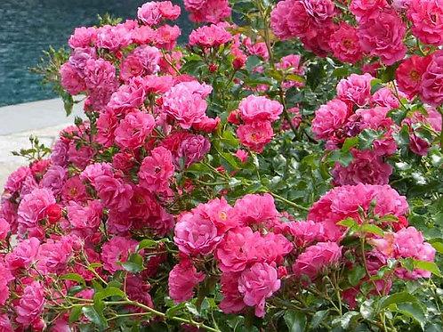 Rosa Carpet Pink