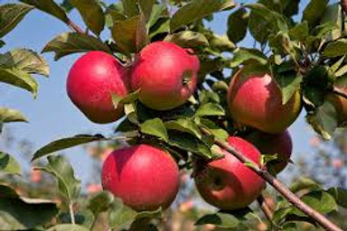 Malus Jonagold Apple Tree