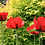 Thumbnail: Papaver orientale Beauty of Livermere