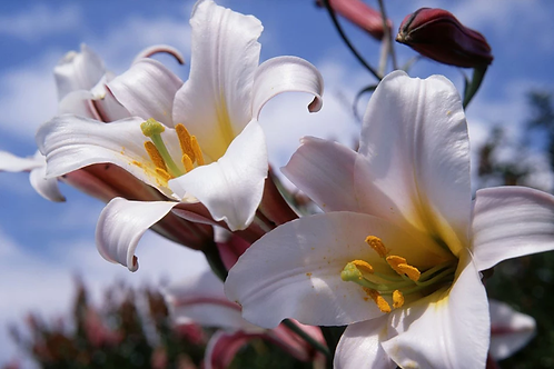 Lilium Trumpet Regale Prepack Summer Bulbs