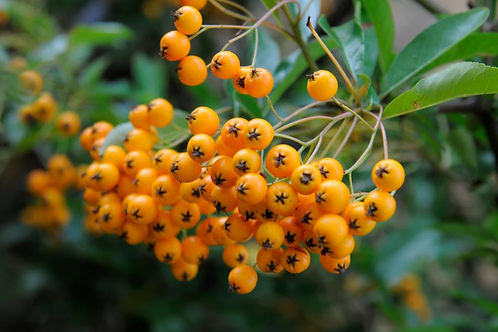 Pyracantha Soliel d'Or