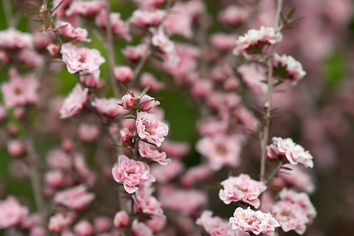 Leptospermum scoparium Apple Blossom 3ltr